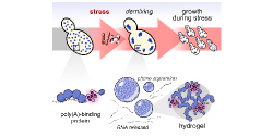 Stress-Triggered Phase Separation Is an Adaptive, Evolutionarily Tuned Response